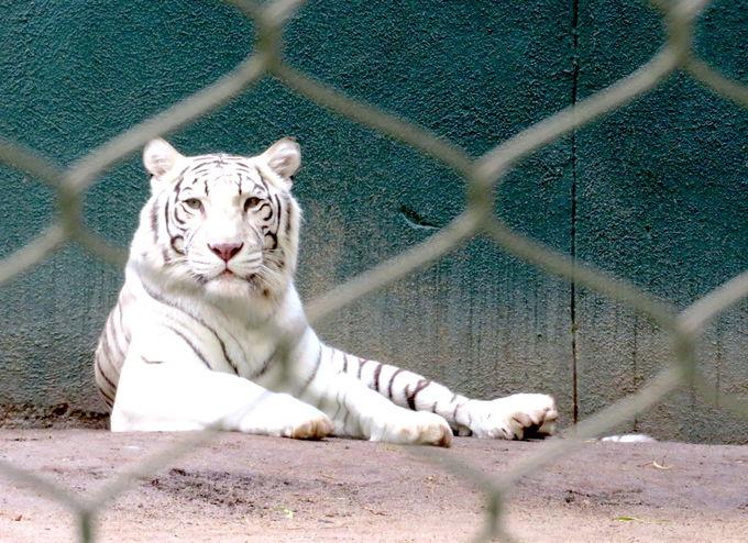 """白いライオンとタイガーがお出迎え""""シークレット・ガーデン"""""""