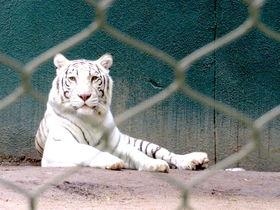 ラスベガス「シークレットガーデン&ドルフィン」白い動物たちにイルカも!