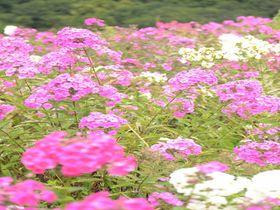 これぞ天空の花園!あばしりフロックス公園はオホーツクの新名所