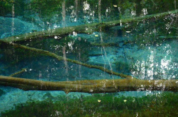 腐らない倒木は、神の子池が作り出す自然美