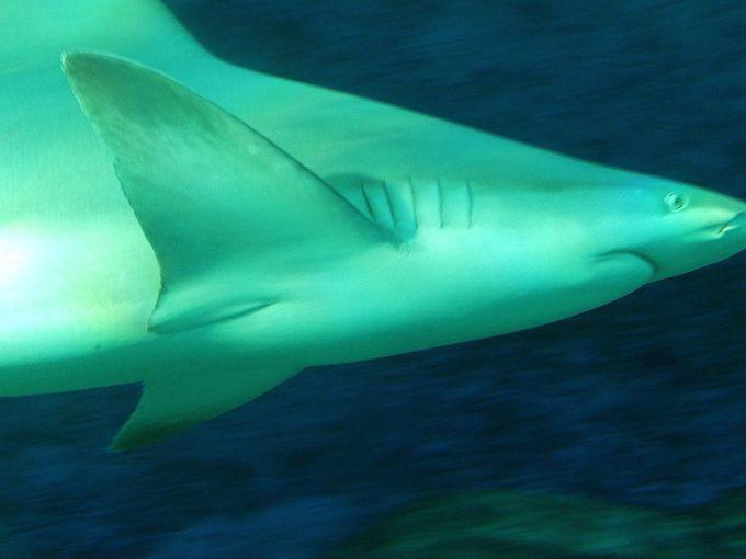 巨大サメが集結!