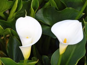 花言葉は「華麗なる美」台北・竹子湖は白く可憐なカラーが満開!