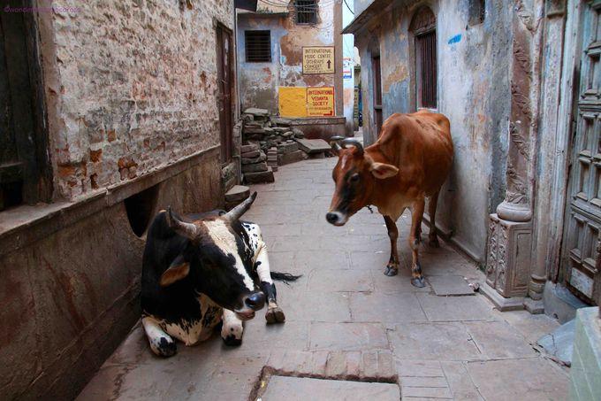全く動じない牛にも動じず街を歩こう!