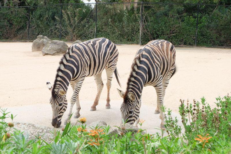 トラムでのアクセスも便利!「メルボルン動物園」はオーストラリア最古の動物園