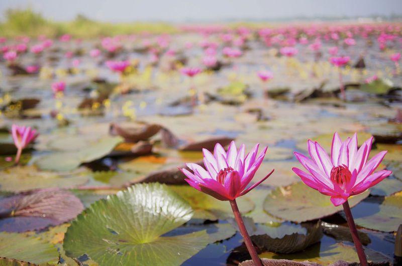 期間限定の絶景!ピンクに染まる奇跡の湖。タイ「クンパワピー」