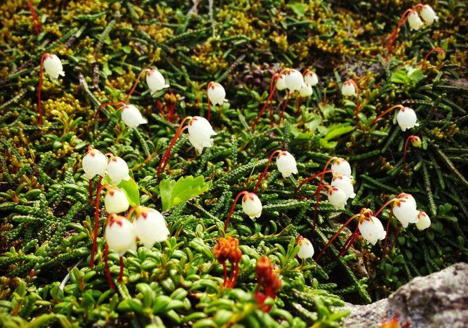 標高が低くても楽しめる高山植物は四季を感じて