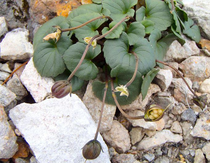 足元に咲くシレトコスミレはここでしか見られない絶滅危惧種