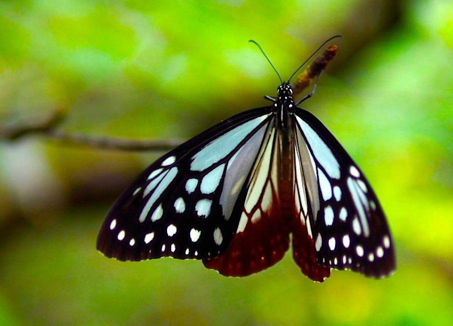 豊かな森の豊かな生態系。ブナの森にしかいない「フジミドリシジミ」