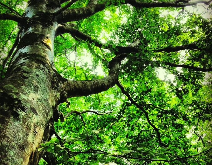 白神山地の自然遺産の価値は「ブナ」そして「原生林」
