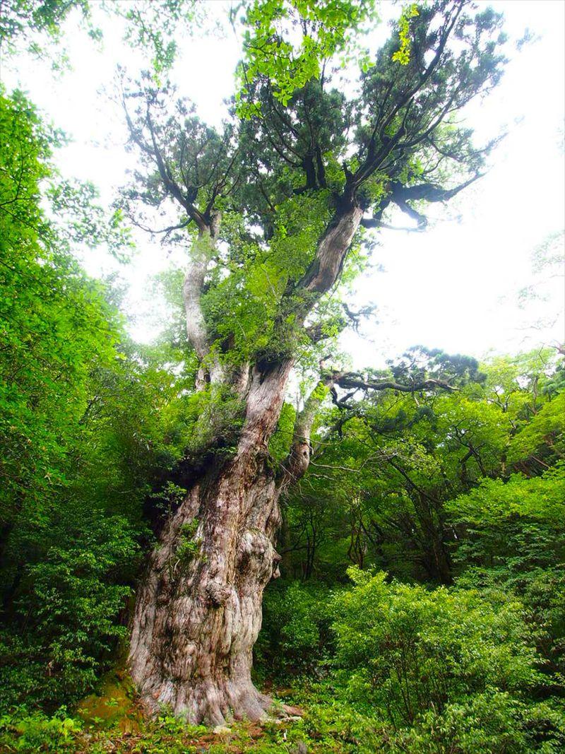 雄々しく厳しい自然を生き抜いた「縄文杉」が魅せる自然美