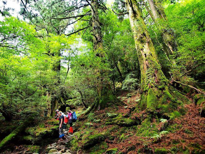 世界自然遺産の森へ!有名な屋久杉を見に行こう