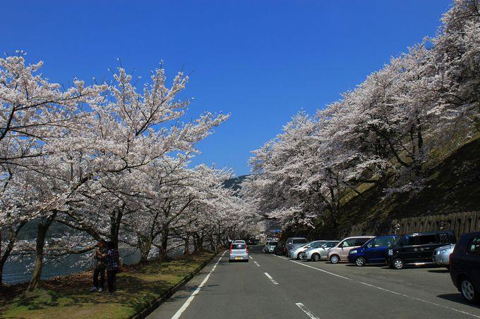 曳山まつり期間中は海津大崎の桜がベストタイミング!