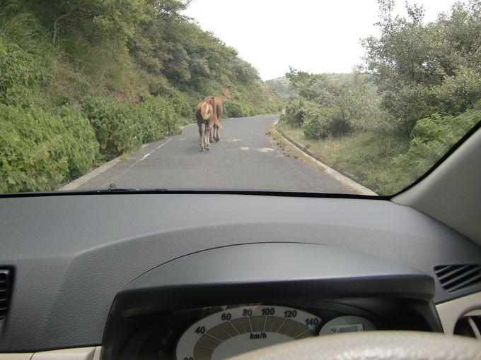 西ノ島のドライブは、牛馬優先。絶景に見とれても落し物に注意!