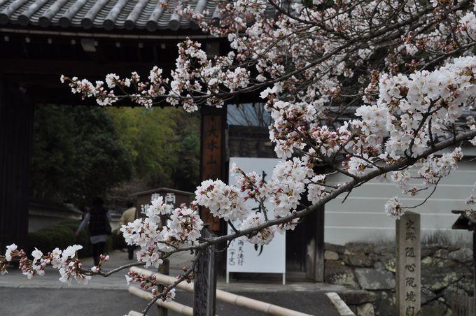 小野小町ゆかりの寺で桜と可憐な舞を 京都山科「随心院はねず踊り」