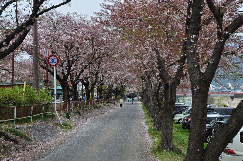 桜と鯉のぼりの共演!岐阜県垂井の春の風物詩・相川の鯉のぼり!