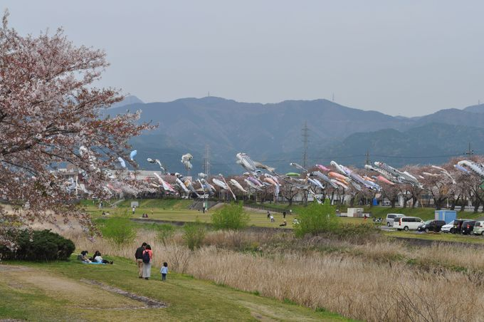 相川を泳ぐ350匹もの鯉のぼり!