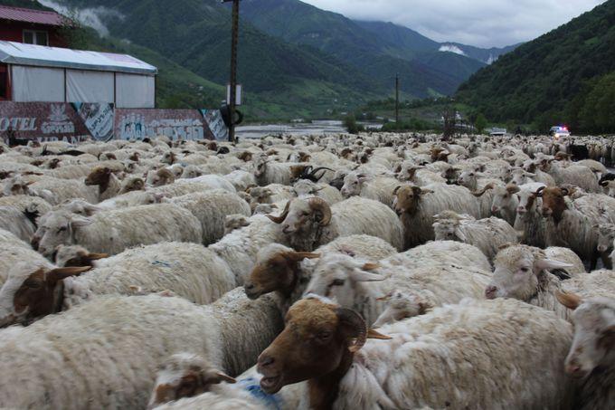 一面が羊、ひつじ、ヒツジ!!軍道に広がるウールのじゅうたん!?