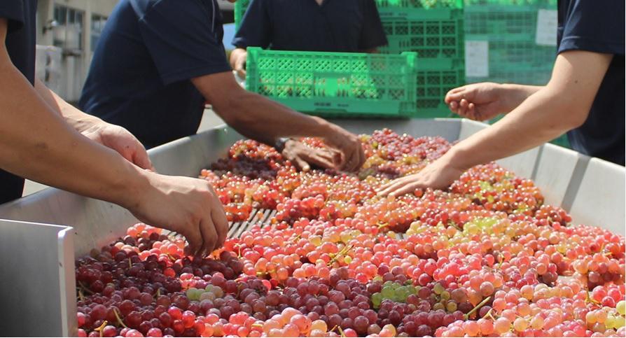 「どんなお酒も人と環境から」素材と向き合うワイン造りを見学