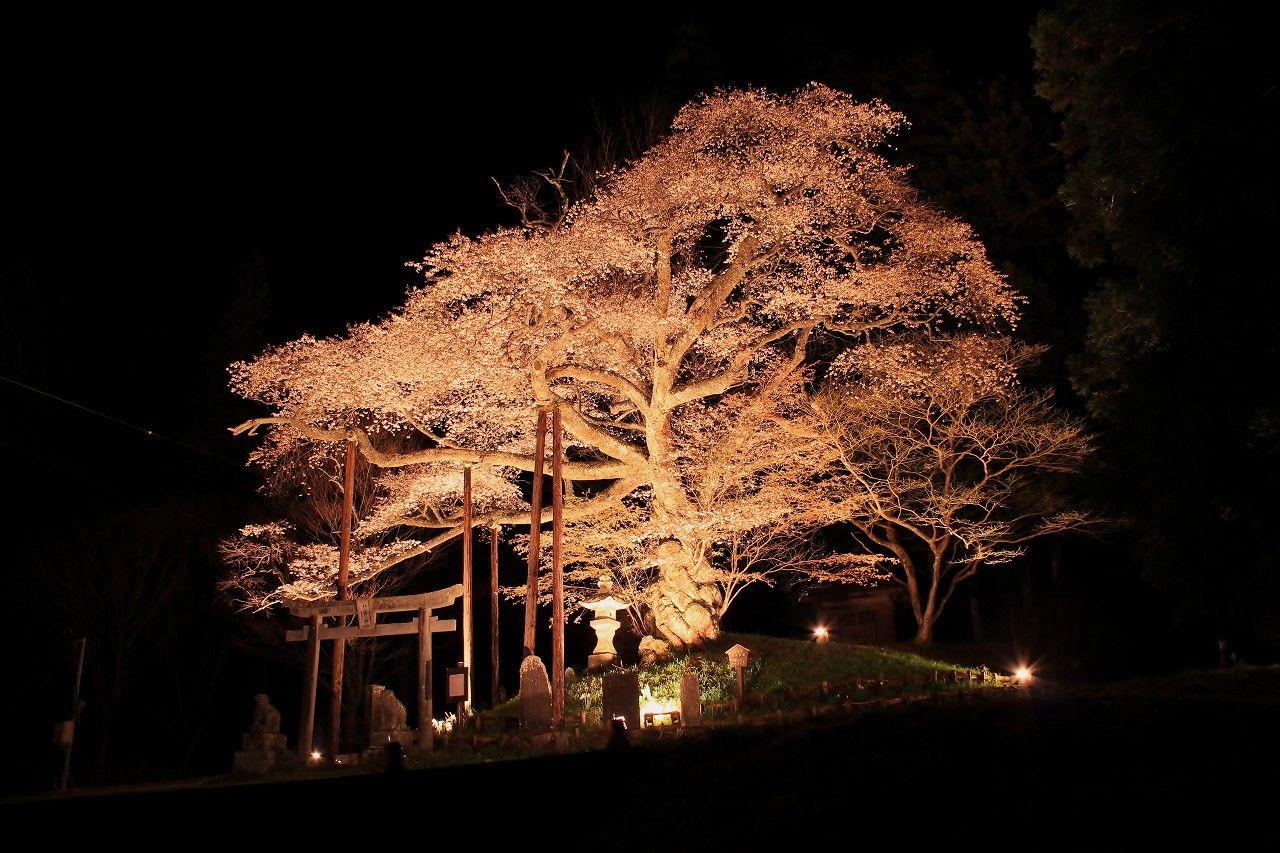 まるでヤマタノオロチの形相と威厳を放つ「磯上の桜」は八溝山系の守り神