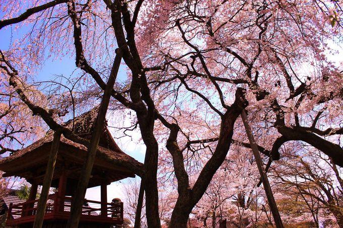 西行法師が名付けた光丸山法輪寺「西行の桜」は詫び寂びの世界!