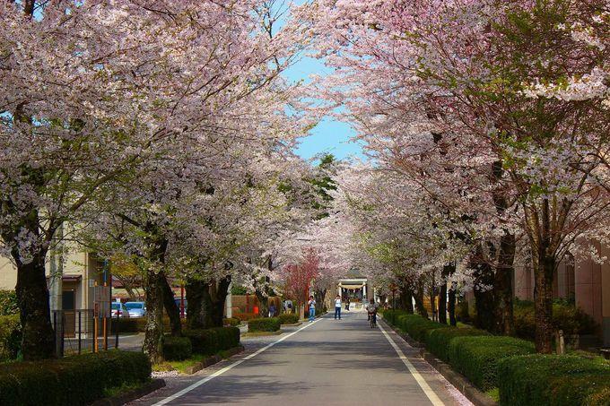 明治の偉人・乃木希典大将の「那須別邸の桜並木」