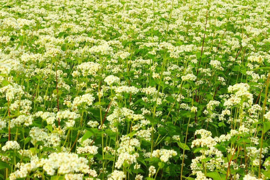 高原の一面に広がる蕎麦の花のパノラマ