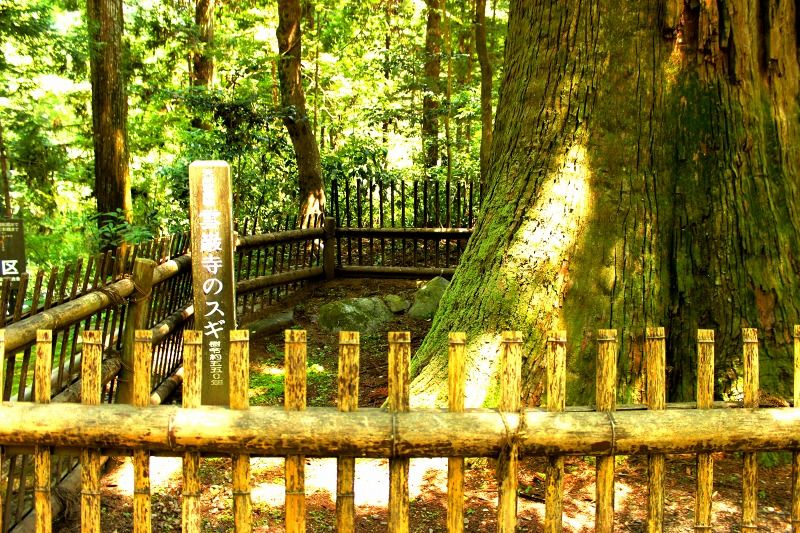 樹齢550年のパワーを放つ、巨木杉!