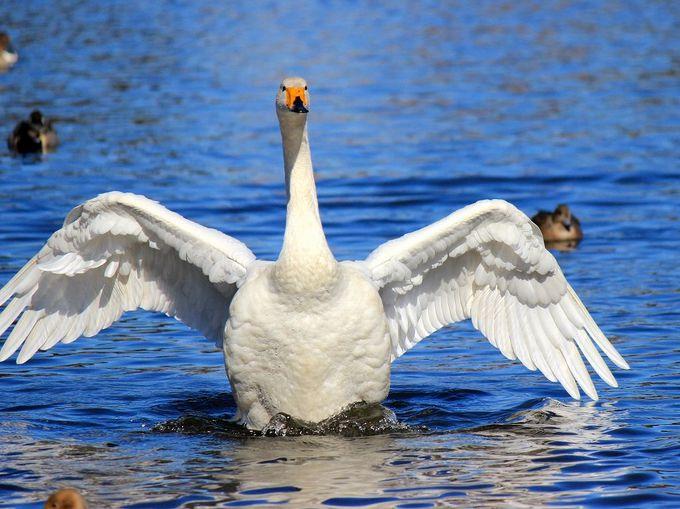 『白鳥の湖』状態!オオハクチョウの天国「羽田沼」(栃木)