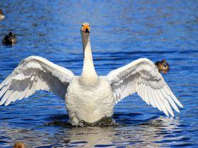 『白鳥の湖』状態♪オオハクチョウの天国「羽田沼」大田原市