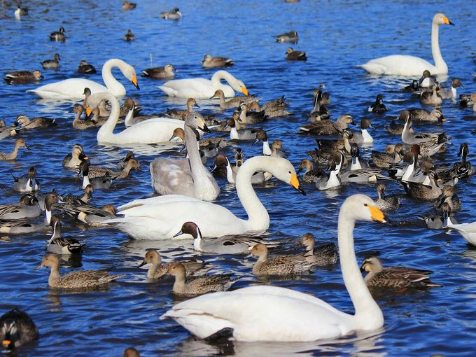 本州では珍鳥の『アカハシハジロ』も来訪した沼!
