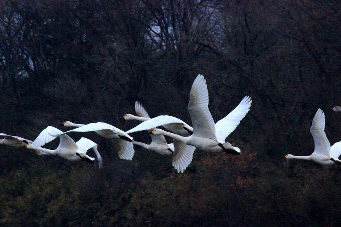 """美しい""""白鳥""""たちの""""飛翔風景""""が見られます!!"""