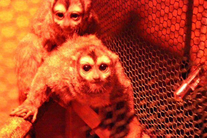 """日本では珍しい""""夜行猿""""や""""熱帯猿""""が大集合しています!"""
