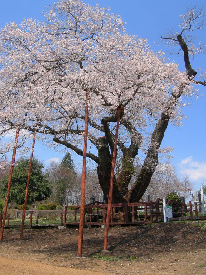 栃木県桜の銘木百選!那須塩原市『寺子の一本桜』は必見!