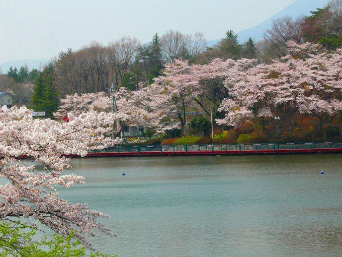 """『りんどう湖レイクビューの桜』ではボートに乗って""""湖上の桜見""""を。"""
