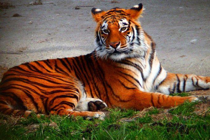 野生の王国「那須サファリパーク」で猛獣の生態を楽しもう!