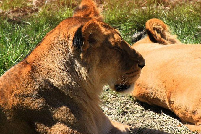 トラと並ぶネコ科最大の動物。アフリカライオン