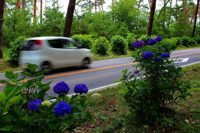 戦前からの風景を保存している貴重な赤松林!