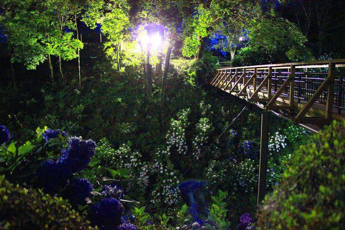 「紫陽花橋」の眼下には、「紫陽花繚乱」の世界が広がっています!