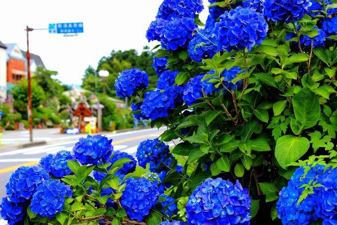 今では「那須街道」のほぼ全域で「紫陽花」が観られます。