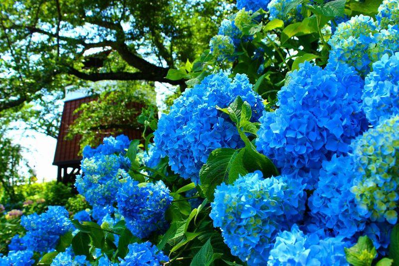 紫陽花の名所・大田原市「黒羽城址公園」はライトアップの夜がお奨め!