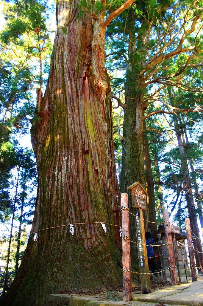 """鷲子山上神社の御神木""""千年杉""""には強力なパワーが宿っている!"""