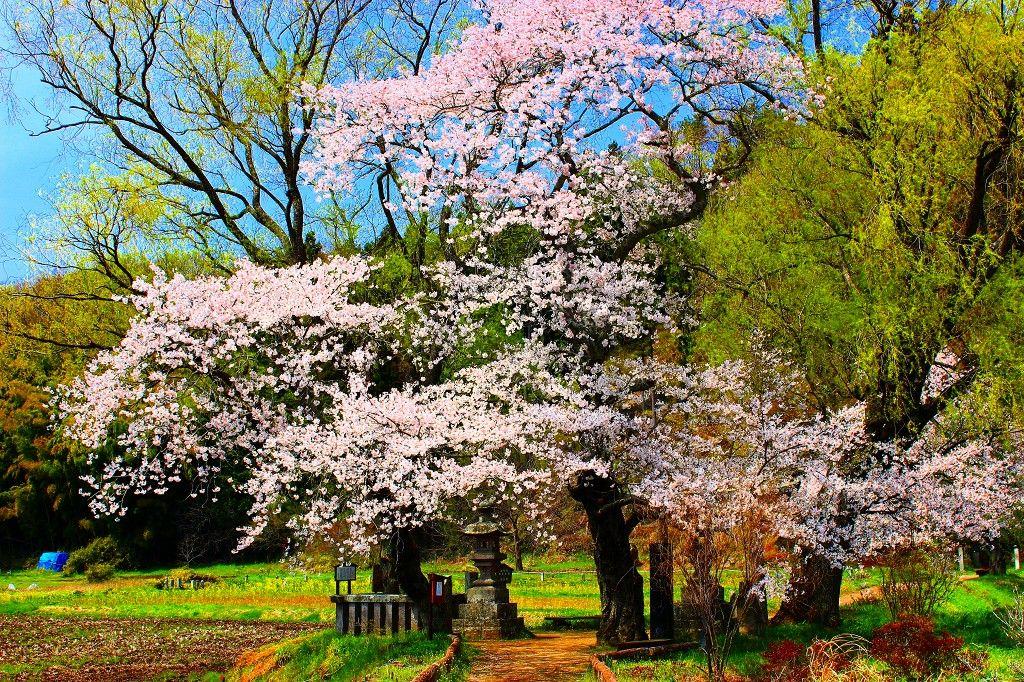 芭蕉や西行・蕪村も愛した「遊行柳と桜」
