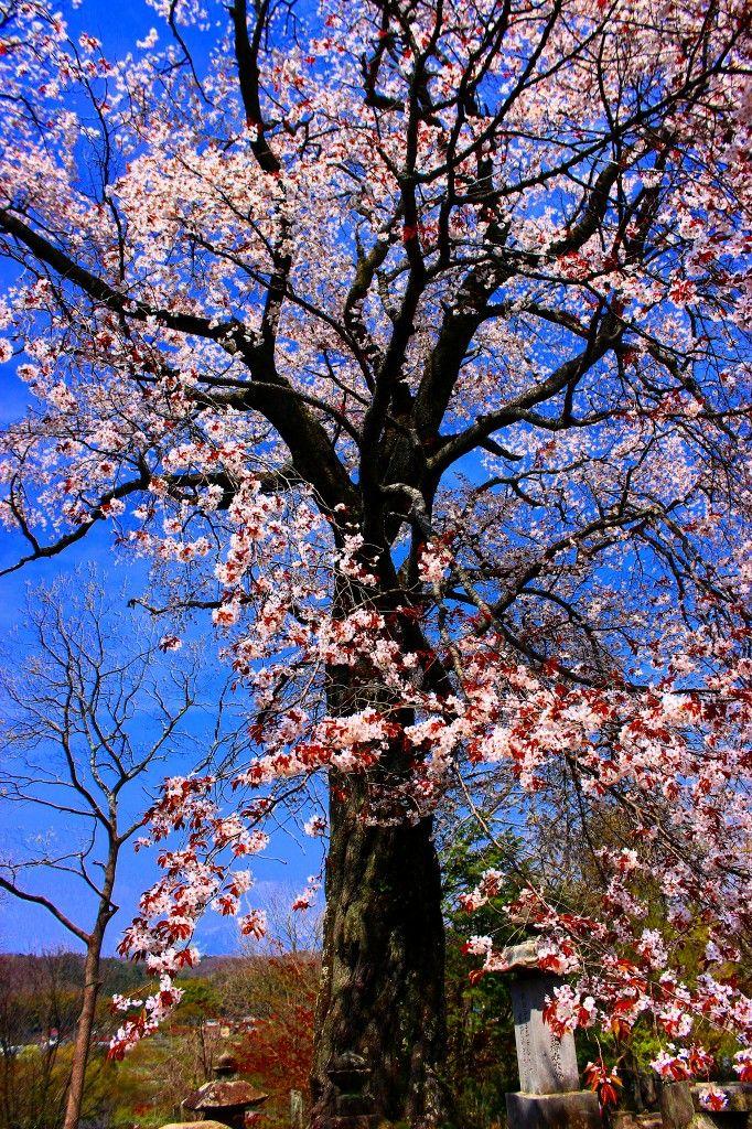 那須七騎芦野一族を見守る「エドヒガンの一本桜」曹洞宗・建中寺