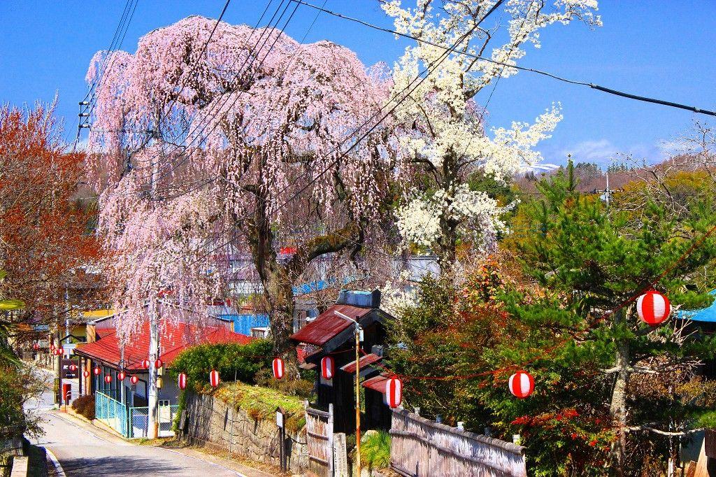 樹齢400年「平久江家のしだれ桜」芦野御殿山公園