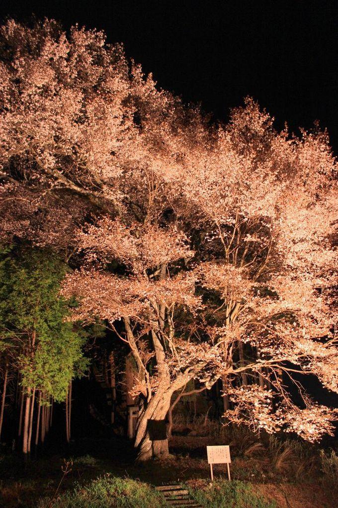 義経伝説の残る「上郷下平、幣石(おんべし)の山桜」