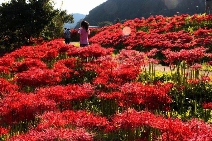 日本の原風景、里山にひろがる!真っ赤な彼岸花の絨毯がお出迎え♪