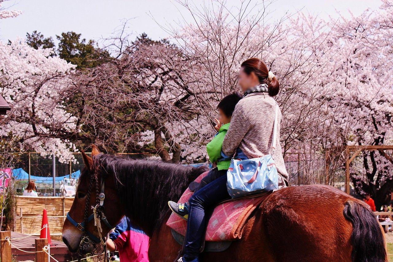 圧巻の絶景!熱気球に乗って大空から満開の桜見物