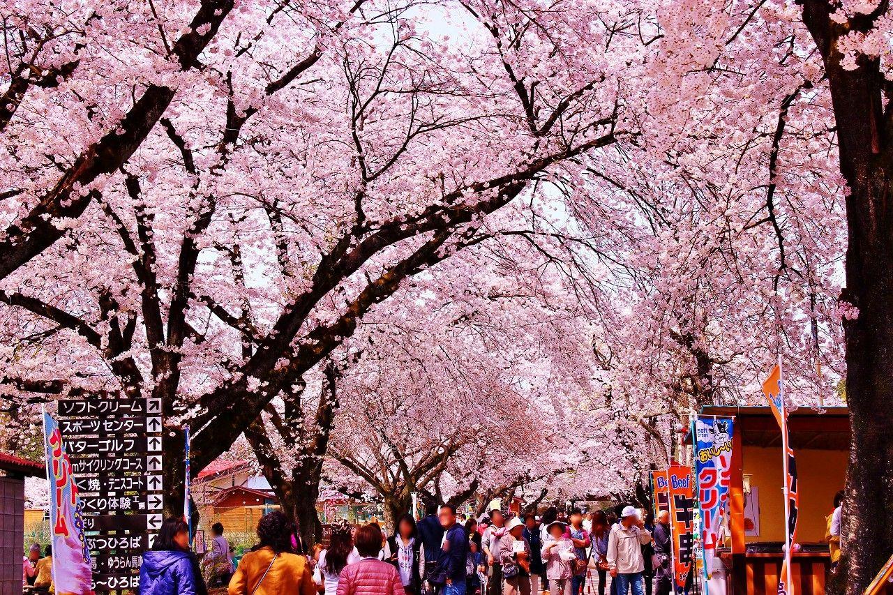 300m続くメインストリートの満開の桜のトンネル
