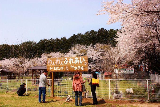愛犬といっしょに満開の桜を楽しもう!