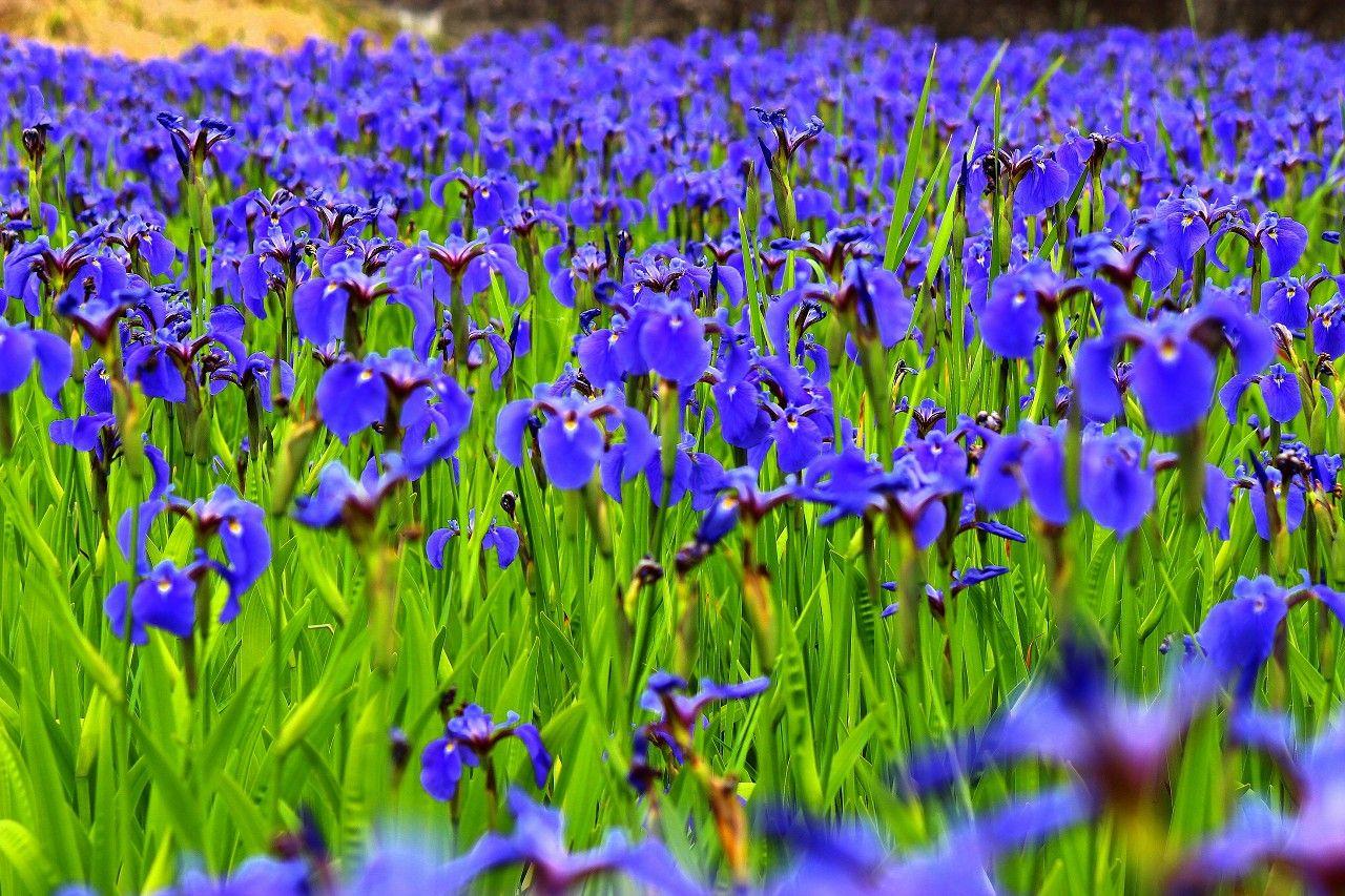 絶滅危惧種のアヤメやツツジも!初夏の那須高原は花盛り
